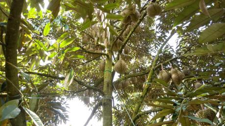 Người trồng sầu riêng thu lợi nhuận cao nhờ dùng phân bón phù hợp