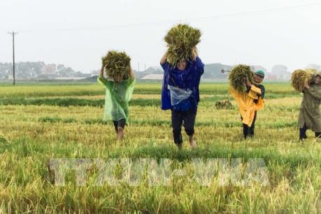Hà Tĩnh thu hoạch 1.300 ha lúa trước khi bão số 10 đổ bộ