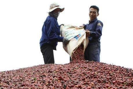 Xuất hiện tình trạng ép giá thu mua cà phê ở Kon Tum