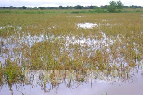 Nam Định: Nguy cơ mất trắng hàng nghìn ha lúa