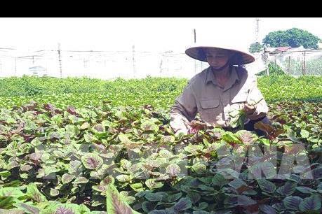 Sẽ thí điểm xây dựng mô hình liên kết giữa doanh nghiệp – hợp tác xã – nông dân