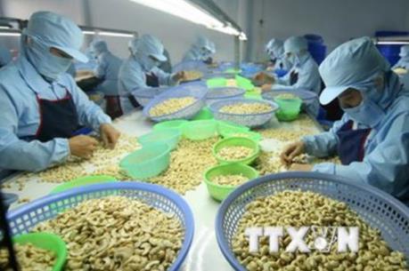 """Ngành điều Việt Nam nỗ lực giữ """"ngôi"""" đầu thế giới về xuất khẩu nhân điều"""
