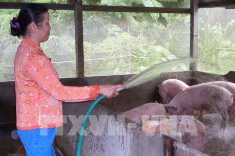 Lo sợ thua lỗ, người chăn nuôi lợn tái đàn cầm chừng