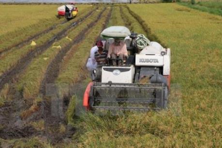 Giá lúa từ đầu vụ thu hoạch đến nay ổn định
