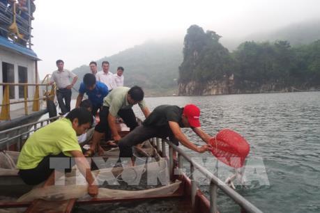 Đầu tư nuôi cá sạch trên vùng hồ Hòa Bình