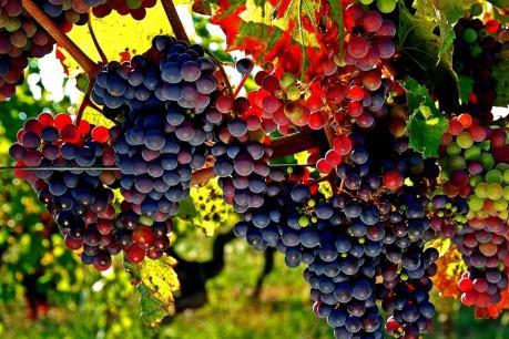 Phát hiện mới về nguồn gốc của rượu nho