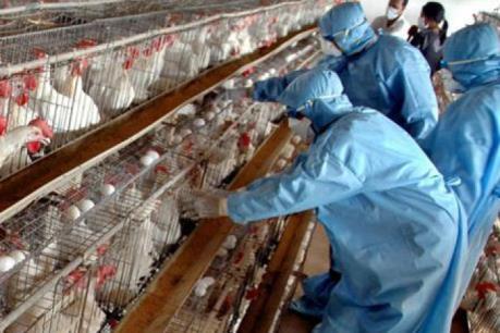 Hàn Quốc đặt mức cảnh báo cao nhất sau khi phát hiện một ổ cúm gia cầm