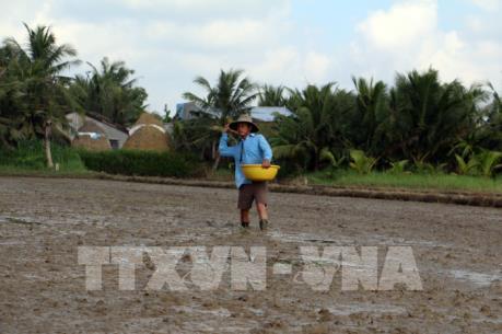 ĐBSCL xuống giống hơn 1,65 triệu ha lúa Đông Xuân