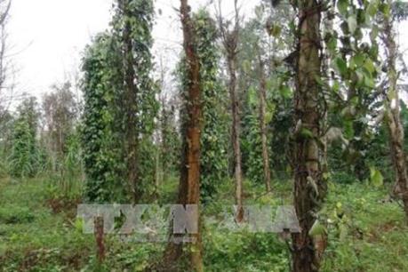 Hàng trăm héc ta hồ tiêu tại Bình Phước bị bệnh chết nhanh