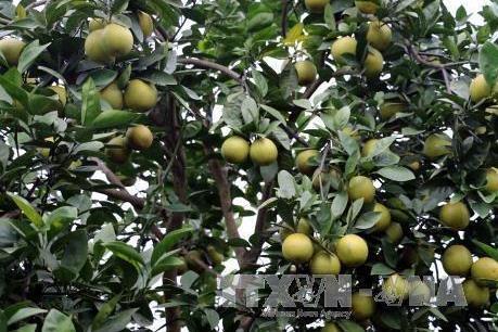 Hưng Yên hình thành vùng trồng cam theo tiêu chuẩn VietGap
