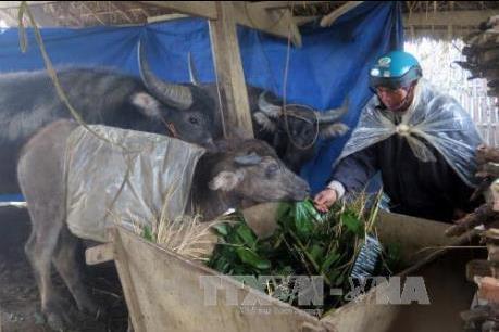 Người dân vùng cao Sa Pa chủ động chống rét cho đàn gia súc