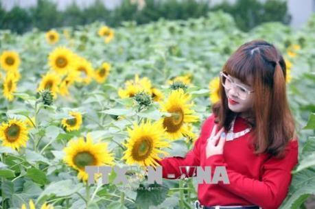 Hoa hướng dương nở giữa Hoàng Thành