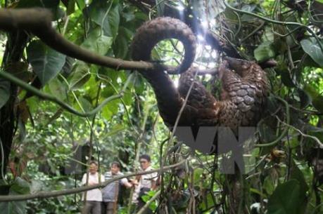 Sản xuất thức ăn nhân tạo, góp phần bảo tồn loài Tê tê Java