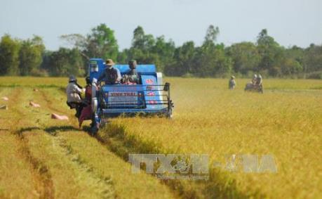 Giá lúa Đông Xuân sớm tăng hơn 500 đồng/kg 