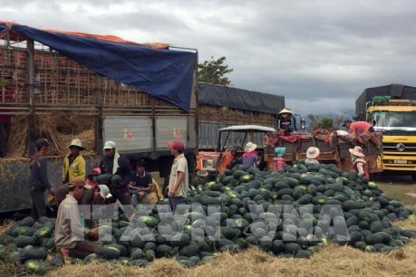 Nông dân vừa được mùa vừa được giá dưa hấu Tết
