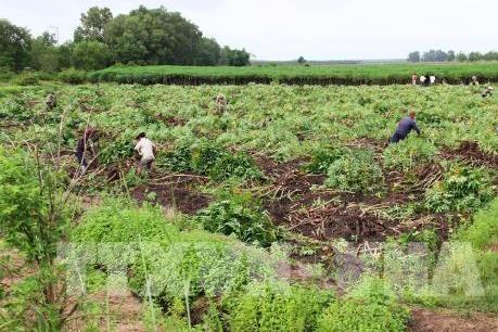 Hệ lụy khi trồng sắn không theo quy hoạch tại Phú Yên
