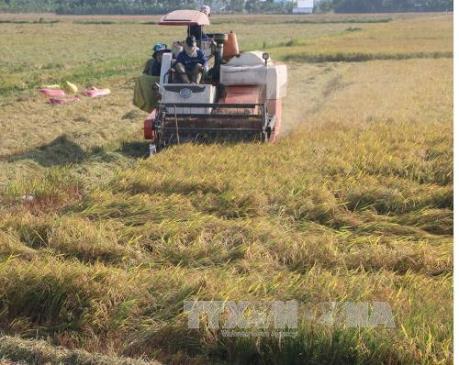 Giá lúa Đông Xuân tại Hậu Giang tăng cao