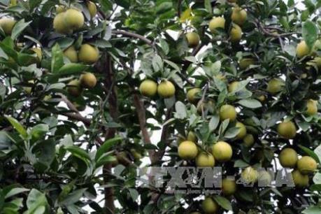 Ứng dụng trồng cam công nghệ cao