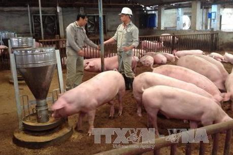 Đàn lợn giảm do giá tiêu thụ chưa hấp dẫn người nuôi