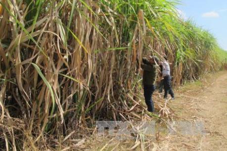 Chuyển đổi trồng mía trên đất bãi cho năng suất cao