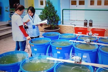 Lần đầu thả, cấy tảo lục xuống hồ Gươm