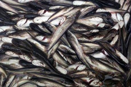Quảng Ninh: Tiêu hủy hơn 3,5 tấn cá nhập lậu