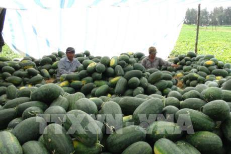 Nông dân Quảng Bình gặp khó trong tiêu thụ dưa hấu