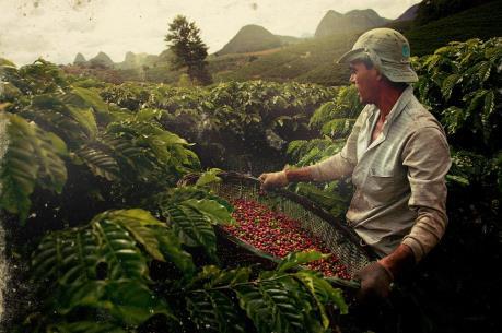 Sản lượng cà phê của Brazil sẽ đạt mức cao kỷ lục niên vụ 2018-19