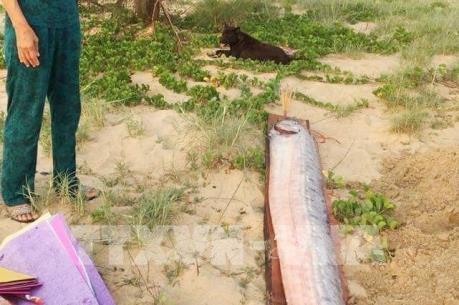 Ngư dân Quảng Bình liên tiếp phát hiện cá hố rồng chết dạt vào bờ biển