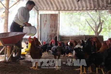 Gà Hồ đem lại thu nhập ổn định cho người chăn nuôi