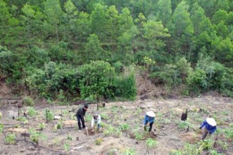 Cả nước đã trồng được gần 57.000 ha rừng trồng thay thế