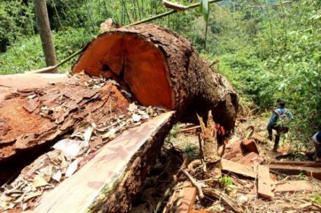 Quảng Nam: Truy nã hai nghi can chủ mưu vụ phá rừng lim cổ thụ