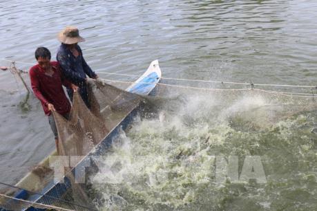 Phát triển mạnh nuôi cá tra nguyên liệu đáp ứng nhu cầu chế biến xuất khẩu