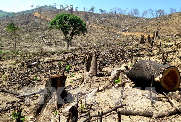 Cận cảnh hiện trường 43 ha rừng tự nhiên ở Bình Định bị xóa sổ - hình 2