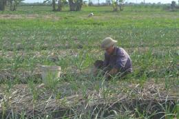 Huyện đảo Lý Sơn hướng tới mở rộng trồng tỏi hữu cơ