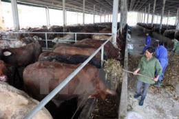 Số bò mới được hỗ trợ đã bị lở mồm long móng