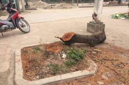 Hà Nội: Làm rõ việc chặt cây gây phản cảm ở Thạch Thất