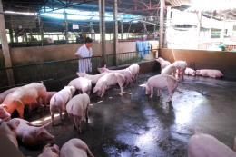 Tuổi trẻ Bạc Liêu chung tay giải cứu đàn heo cho người chăn nuôi