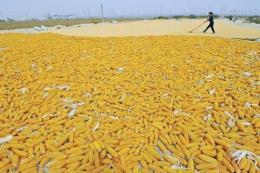 Thị trường nông sản Mỹ cuối tuần qua: Giá ngô tăng nhẹ, lúa mỳ sụt giảm