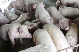 Người chăn nuôi e ngại tái đàn dù giá lợn tăng nhẹ