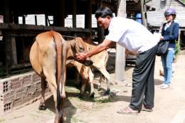 Thêm 1 ổ dịch lở mồm long móng tại Đắk Lắk