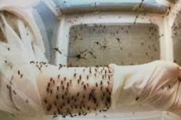 Chuyện lạ: Nuôi muỗi vằn để phòng chống sốt xuất huyết