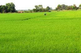 Hàn Quốc thí nghiệm các chế phẩm sinh học trên lúa tại Hậu Giang