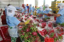 Thanh long Việt Nam bắt đầu được bày bán ở Australia