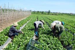 Giá nhiều loại rau tại Lâm Đồng giảm mạnh