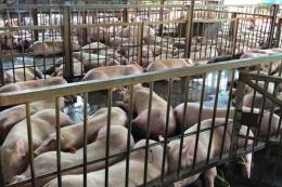 Sẽ tăng mức xử phạt đối với hành vi tiêm thuốc an thần cho lợn