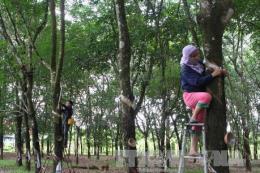 Cao su Dầu Tiếng đầu tư 2.000 ha cho nông nghiệp ứng dụng công nghệ cao