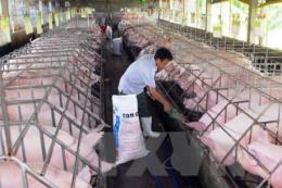 Giá lợn hơi lại giảm sâu sau vụ tiêm thuốc an thần