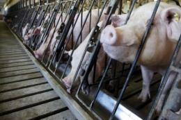 Giảm kháng sinh trong chăn nuôi để đối phó kháng kháng sinh ở người