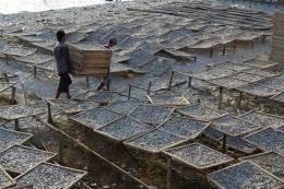 Bảo vệ nguồn cá cơm cho sản xuất nước mắm Phú Quốc